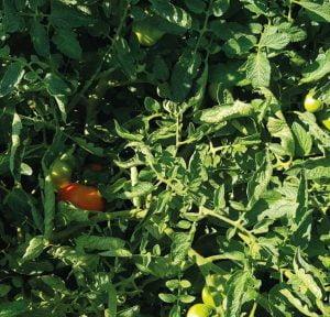 tomates-naturales-comprar